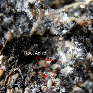 How to grow lettuce - root aphids