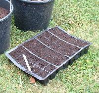 Prepared tray for transplanting tomato seedlings