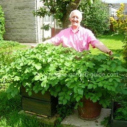 Growing potatoes - container vegetable gardening