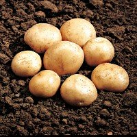 Rocket potato seed