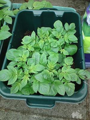 Potatoes Four Weeks In...
