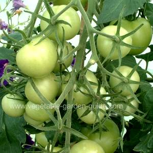 Growing Tomatoes - Nearly Ripe