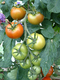 Harvesting tomatoes from plant