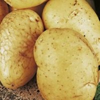 Valor potato seed